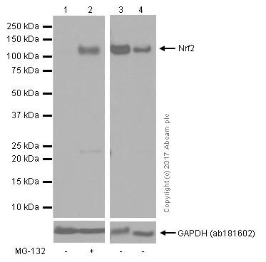 免疫印迹-抗Nrf2抗体[EP1808Y]-芯片级(ab62352)