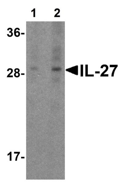 Western blot - Anti-IL27 antibody - Aminoterminal end (ab62501)