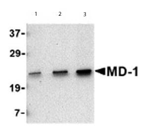 Western blot - Anti-MD1 antibody - Carboxyterminal end (ab62507)