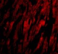 Immunocytochemistry/ Immunofluorescence - Anti-BAP29 antibody (ab62571)