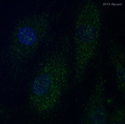 Immunocytochemistry/ Immunofluorescence - Anti-MAP1LC3A antibody (ab62720)