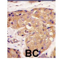 Immunohistochemistry (Formalin/PFA-fixed paraffin-embedded sections) - Anti-Sclerostin antibody (ab63097)