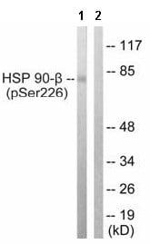 Western blot - Anti-Hsp90 beta (phospho S226) antibody (ab63562)