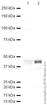 Western blot - Anti-MyoD1 antibody (ab64159)