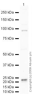 Western blot - Anti-BARD1 antibody (ab64164)