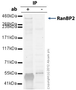 Immunoprecipitation - Anti-RanBP2 antibody (ab64276)