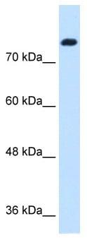 Western blot - Anti-Snf1lk antibody (ab64428)