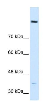Western blot - Anti-COBLL1 antibody (ab64465)