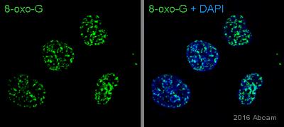 Immunocytochemistry/ Immunofluorescence - Anti-Oxoguanine 8 antibody [2Q2311] (ab64548)