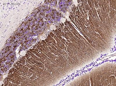 Immunohistochemistry (Formalin/PFA-fixed paraffin-embedded sections) - Anti-Synapsin I antibody - Synaptic Marker (ab64581)
