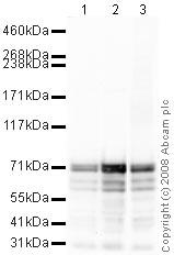 Western blot - Anti-Synapsin I antibody - Synaptic Marker (ab64581)