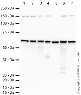 Western blot - Anti-CD147 antibody (ab64616)