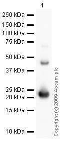 Western blot - Anti-FGF21 antibody (ab64857)