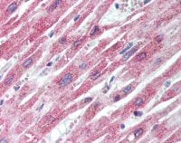 Immunohistochemistry (Formalin/PFA-fixed paraffin-embedded sections) - Anti-FAM129A antibody (ab64903)