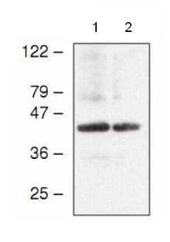 Western blot - Anti-atpC antibody (ab65381)