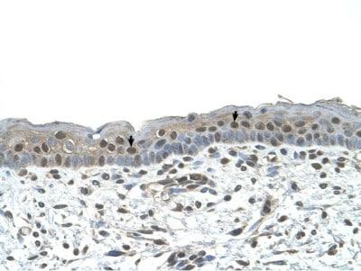 Immunohistochemistry (Formalin/PFA-fixed paraffin-embedded sections) - Anti-NR2C2 antibody (ab65676)
