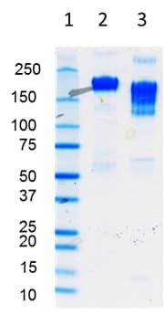 SDS-PAGE - Human IgE full length protein (Azide-free) (ab65866)