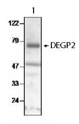 Western blot - Anti-DEGP2 antibody (ab65928)