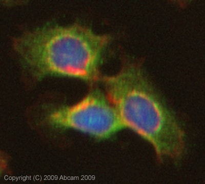 Immunocytochemistry/ Immunofluorescence - Anti-Twist2 antibody (ab66031)