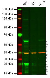 Western blot - Anti-Cdc25C antibody (ab66235)