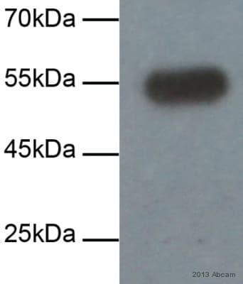 Western blot - Anti-Fibulin 5 antibody [1G6A4] (ab66339)