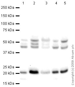 Western blot - Anti-CDC42 antibody (ab66573)
