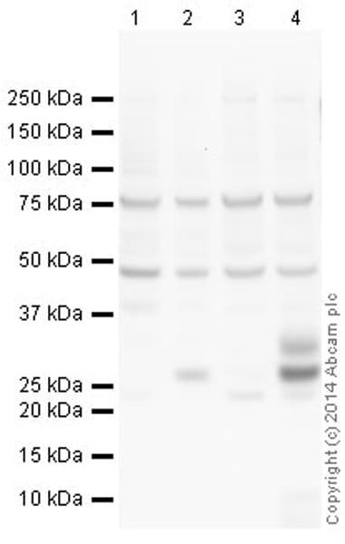 Western blot - Anti-TNF alpha antibody (ab66579)