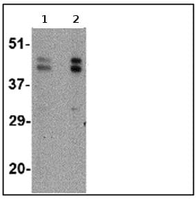 Western blot - Anti-FBXL20 antibody (ab67232)