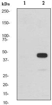Western blot - Anti-MEK1 (phospho T286) antibody [EP2364Y] (ab68140)