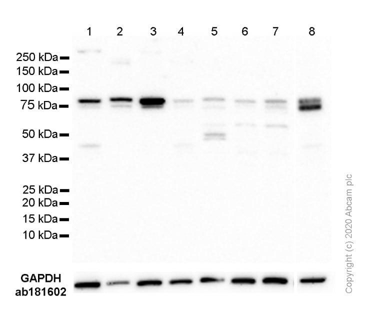 Western blot - Anti-STAT3 antibody [EPR787Y] (ab68153)