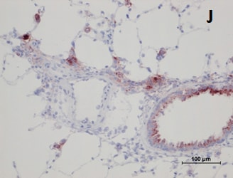 Immunohistochemistry (Frozen sections) - Anti-SOD2/MnSOD antibody [EPR2560Y] (ab68155)