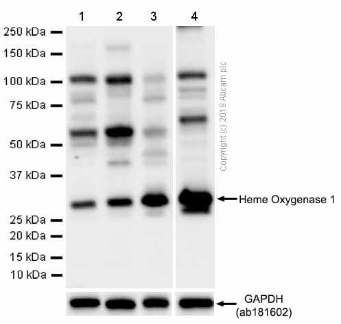 免疫印迹-抗血红素加氧酶1抗体[EPR1390Y](ab68477)