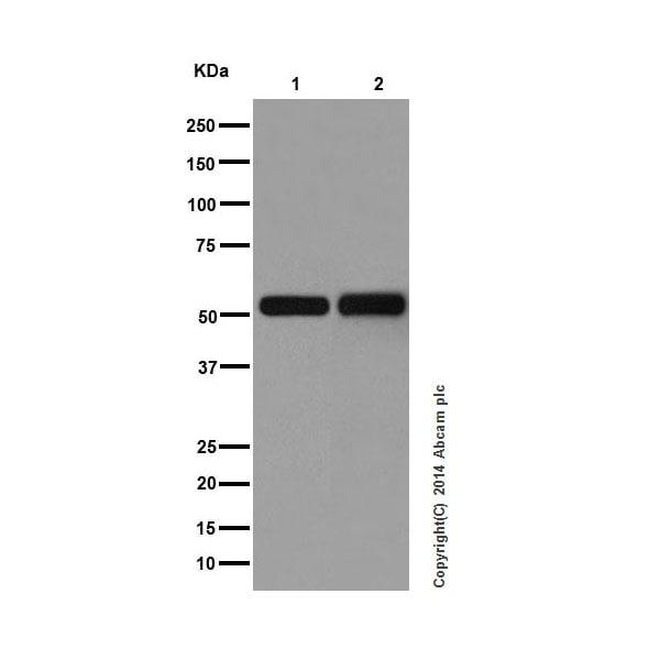Western blot - Anti-IRF3 antibody [EPR2418Y] (ab68481)