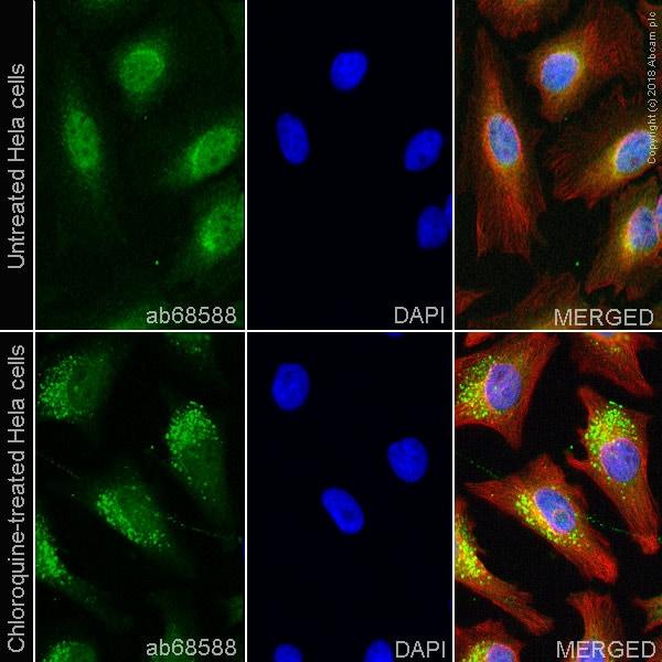 Immunocytochemistry/ Immunofluorescence - Anti-CALCOCO2 antibody (ab68588)