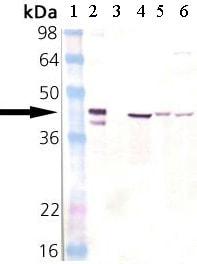 Western blot - Anti-Hsp40 antibody (ab69402)