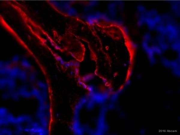 Immunohistochemistry (Frozen sections) - Anti-Osteopontin antibody [53] (ab69498)