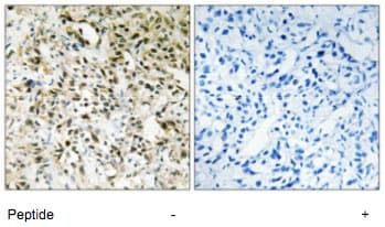 Immunohistochemistry (Formalin/PFA-fixed paraffin-embedded sections) - Anti-PPHLN1 antibody (ab69569)