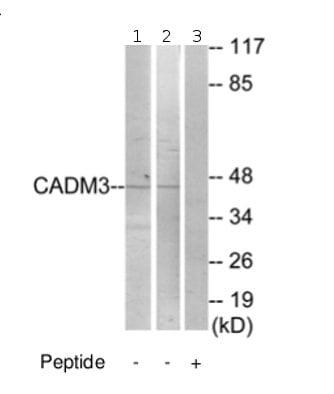 Western blot - Anti-CADM3 antibody (ab69604)