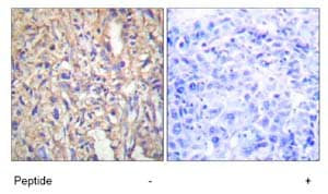 Immunohistochemistry (Formalin/PFA-fixed paraffin-embedded sections) - Anti-Laminin beta 1 antibody (ab69633)