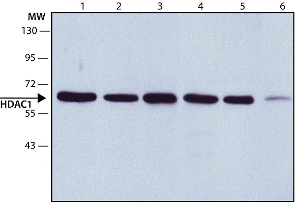Western blot - Anti-HDAC1 antibody - ChIP Grade (ab7028)