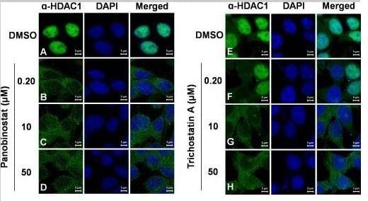 Immunocytochemistry - Anti-HDAC1 antibody (ab7028)