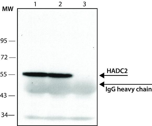 Immunoprecipitation - Anti-HDAC2 antibody (ab7029)