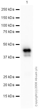 Western blot - Mouse brain tissue lysate - total protein (0 days) (ab7188)