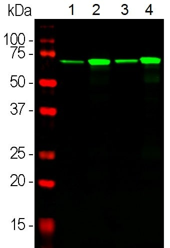 Western blot - Anti-68kDa Neurofilament/NF-L antibody [DA2] (ab7255)