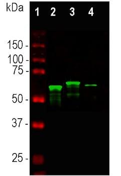 Western blot - Anti-alpha Internexin antibody (ab7259)