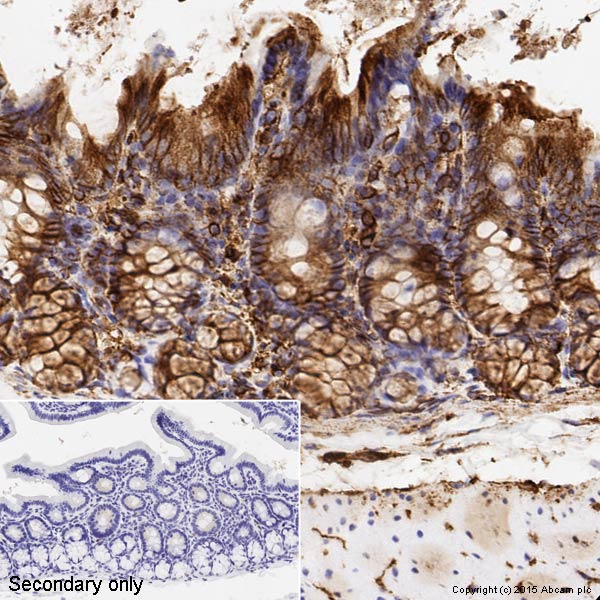 Immunohistochemistry (Formalin/PFA-fixed paraffin-embedded sections) - Anti-alpha Tubulin antibody [DM1A] - Loading Control (ab7291)