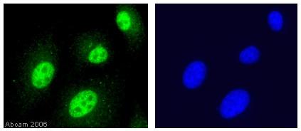 Immunocytochemistry/ Immunofluorescence - Anti-Histone H4 antibody - ChIP Grade (ab7311)
