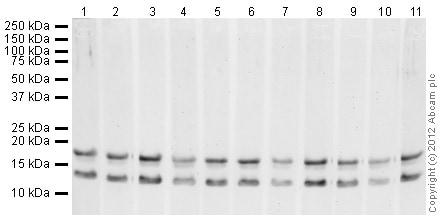 Western blot - Anti-pan methyl Lysine antibody - ChIP Grade (ab7315)