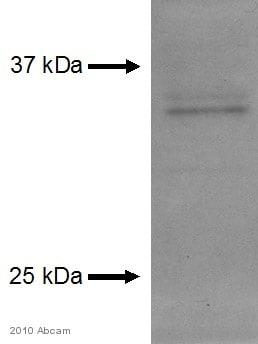 Western blot - Anti-Apolipoprotein E  antibody (ab7620)