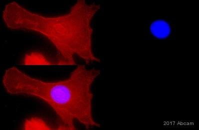 免疫细胞化学/免疫荧光-抗α1钠钾ATP酶抗体[464.6](ab7671)